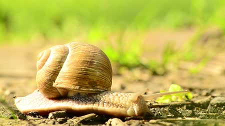 profundidade de campo rasa : Helix pomatia also Roman snail, Burgundy snail, edible snail or escargot, is a species of large, edible, air-breathing land snail, a terrestrial pulmonate gastropod mollusk in the family Helicidae.