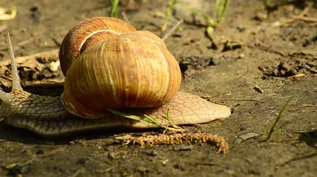 caracol : Helix pomatia also Roman snail, Burgundy snail, edible snail or escargot, is a species of large, edible, air-breathing land snail, a terrestrial pulmonate gastropod mollusk in the family Helicidae.