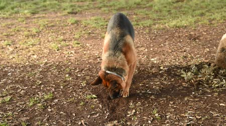 cachorrinho : German shepherd walking in the nature at the park