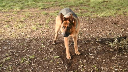 pásztor : German shepherd walking in the nature at the park