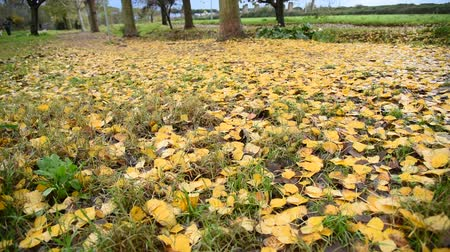 çimenli : Yellow fallen leaves in park
