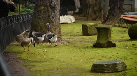 flock of geese : Geese and ducks at the lake of Villa Borghese in Rome, fed by tourists Stock Footage