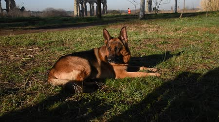 dog sitter : German shepherd dog walking at the park in Rome