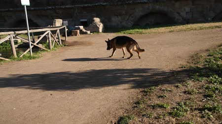 alsatian : German shepherd dog walking at the park in Rome