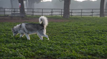 аляскинским : alaskan malamute dog, running happy at the park in Rome