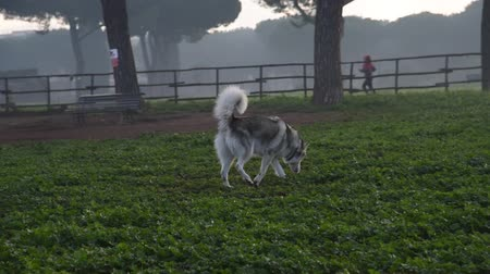 kochanka : alaskan malamute dog, running happy at the park in Rome