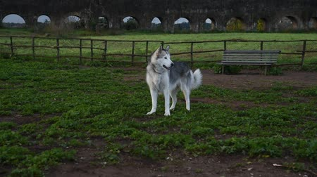 сибирский : alaskan malamute dog, running happy at the park in Rome
