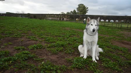 alaskan malamute dog, running happy at the park in Rome