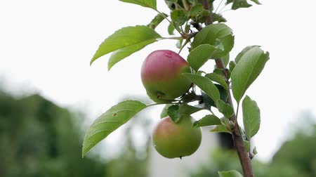 fazla : Apple on a branch in the wind Stok Video