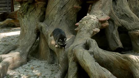 raccoon : Raccoon climbs the old root of a large tree Stock Footage