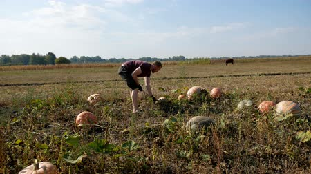 yama işi : A man collects pumpkins in a field. Sunny day. Work with hands.