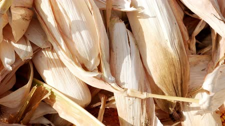 шелуха : Close-up unpeeled corn lies in a heap, they throw more