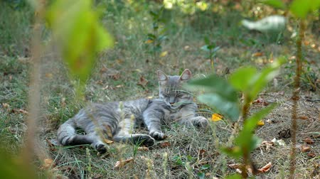 резидент : Ash cat rests in the shade of a tree on a hot summer day. Sleep after dinner.