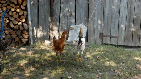fiatal kis kakas : Hens in the village pecking grain