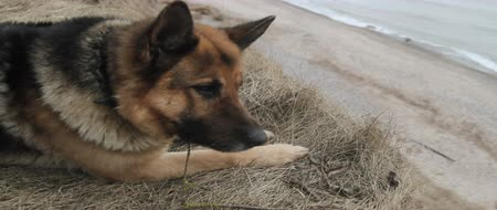 almanca : German Shepherd dog lying on dry grass, along the beach. Stok Video