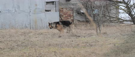 almanca : German Shepherd dog roaming around.