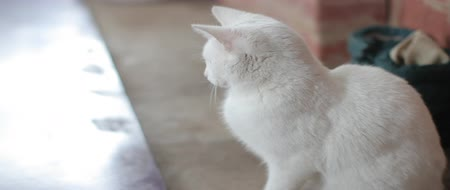 ronronar : White cat watching a moving object. Stock Footage