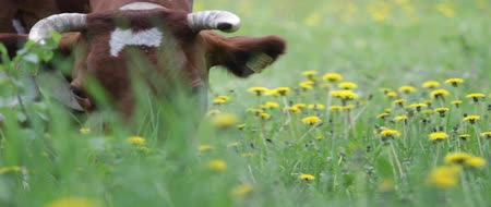 pastar : Close up of brown cow with white patches, eating grass. Field with yellow flowers. Cow facing right. Vídeos