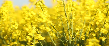 tohum : Rapeseed flower field. Yellow flowers. Stok Video