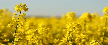 semínko : Several Rapeseed stalks, at level. Yellow flowers.