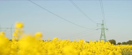 tohum : Rapeseed field, under power lines. Yellow flowers.