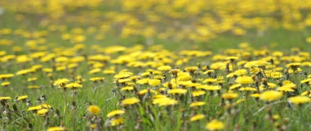 prado : Meadow covered with yellow flowers