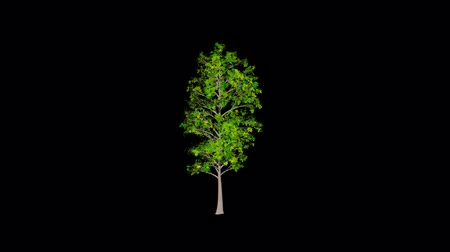 деревья : Animation tree, leaves rustling in the wind, with an alpha channel Стоковые видеозаписи