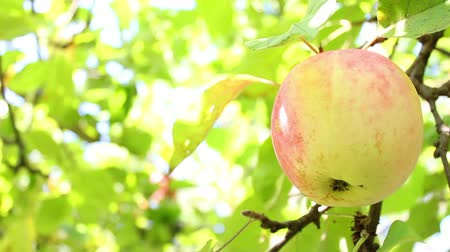 jabłka : Apple on the tree Wideo