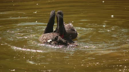 лебедь : Mating season in black swans, swans played on the pond
