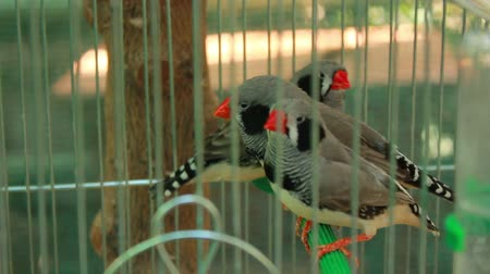 kanarya : Little birds jumping on a perch cage