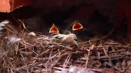hnízdo : Baby birds in nest crying out for food. New life.