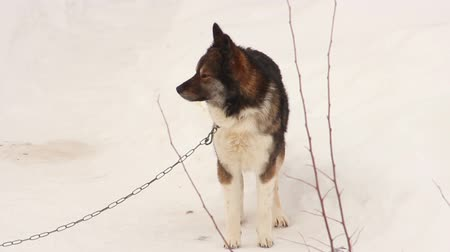 wolf dog : Dog on snow Stock Footage