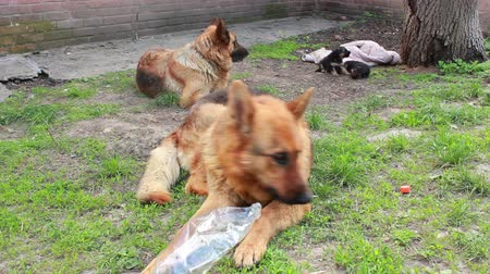 almanca : German Shepherd with puppies