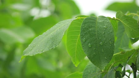 harmatcsepp : Raindrops falling on leaves