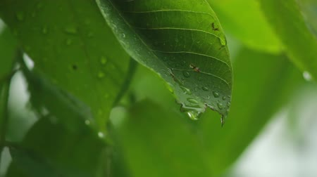 folha : Raindrops falling on leaves
