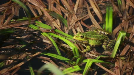 toad : Big green frog sitting in the rushes and looking the camera