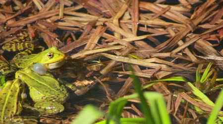 ropucha : huge amount of frogs jumping on the lake