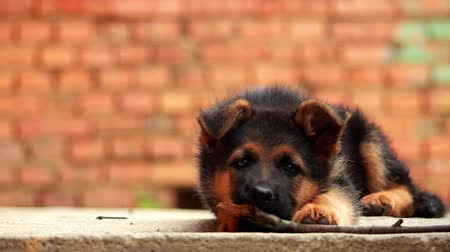 köpek yavrusu : German Shepherd puppy playing in the yard Stok Video