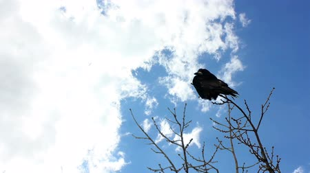contornos : Crow sitting on a tree branch, clouds quickly run through the sky Vídeos