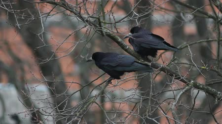czarne : Ravens on tree