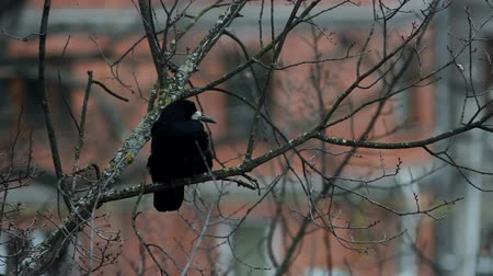 mroczne : Ravens on tree