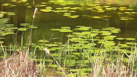 kamış : Reeds and lilies grow in the middle of the lake