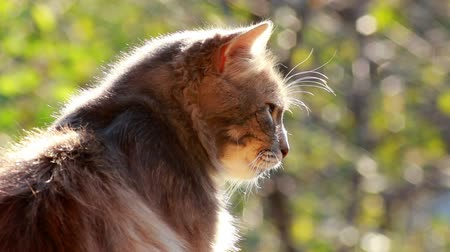 állatorvos : A cat with a pine tree background sits calmly in the afternoon sun and looks around imperiously.