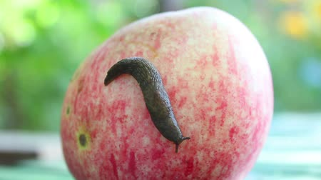 salyangoz : Snail on apple