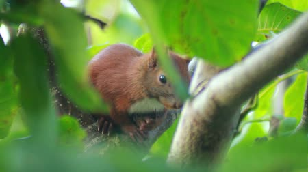 roedor : Wild young squirrel sitting on a tree branch in summer forest