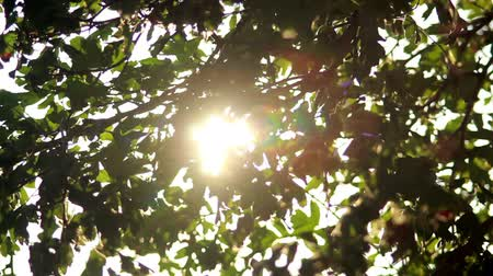 folha : Sun in Trees