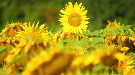 wiese blumen : Sunflowers