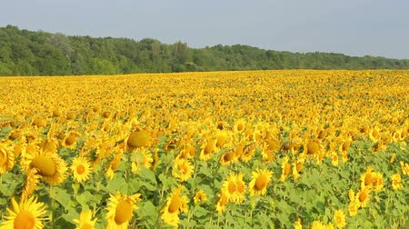 plantage : Sunflowers