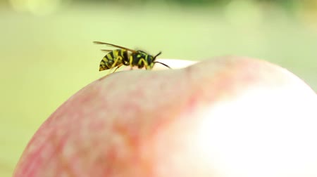 insetos : Wasp on the apple