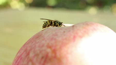 jabłka : Wasp on the apple